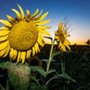 Sunflower Evening Art Print
