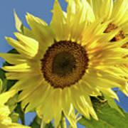 Sunflower Face Art Print