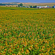 Sunflower Farm In Northwest North Dakota  Art Print