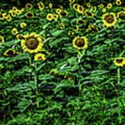 Sunflower Field Panorama Art Print