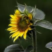 Sunflower Fractalius Beauty Art Print