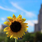 Sunflower In Providence Art Print