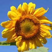 Sunflower In Sunshine  Art Print