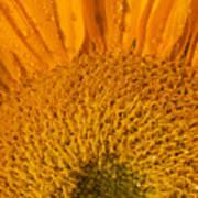 Sunflower In The Morning Dew Art Print