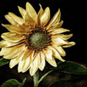 Sunflower Modified Art Print