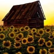 Sunflower Morning With Barn Art Print