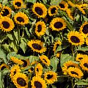 Sunflower Near Van Gogh Museum Art Print