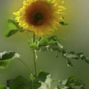 sunflower No. 10 Art Print