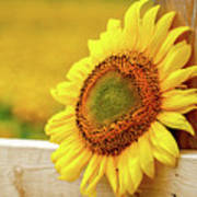 Sunflower On The Fence Art Print