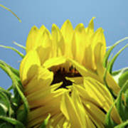 Sunflower Opening Sunny Summer Day 1 Giclee Art Prints Baslee Troutman Art Print