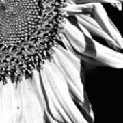 Sunflower Petals In Black And White Art Print