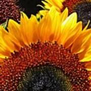 Sunflower Rise Art Print