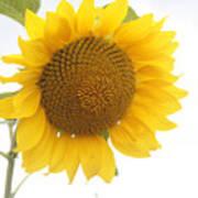 Sunflower Salutation  Art Print
