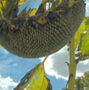 Sunflower Seeds Art Print