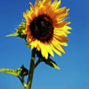 Sunflower Stand Alone Art Print