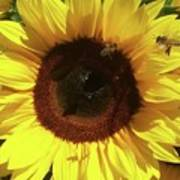 Sunflower With Bees Art Print