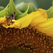Sunflower With Grasshopper Art Print