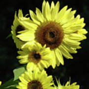 Sunflowers Art Yellow Sun Flowers Giclee Prints Baslee Troutman  Art Print
