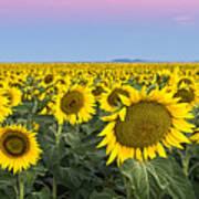 Sunflowers At Sunrise Art Print