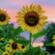 Sunflowers At Sunset Art Print