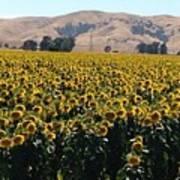 Sunflowers Of Vacaville Art Print