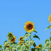 Sunflowers On Blue Art Print
