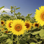 Sunflowers On North Shore Print by Vince Cavataio - Printscapes