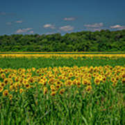 Sunflowers Weldon Spring Mo_dsc9830_16 Art Print