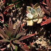 Sunlight On Succulents Art Print
