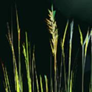 Sunlit Grasses Art Print
