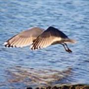 Sunlit Gull Wings Art Print