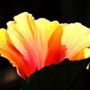 Sunlit Hibiscus Art Print