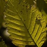 Sunlit Leaf Art Print