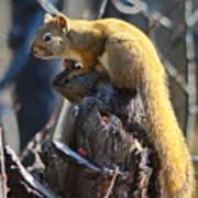 Sunning Squirrel Art Print