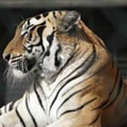 Sunning Tiger Art Print