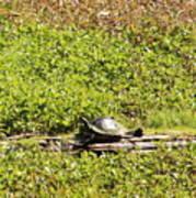 Sunning Turtle In Swamp Art Print