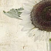 Sunny Albino Sunflower Art Print