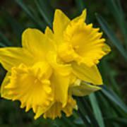 Sunny Daffodils Art Print