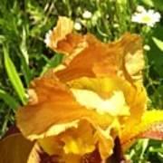 Sunny Wine Iris With Daisies Art Print