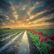 Sunrise At Tulip Filed After A Storm Art Print