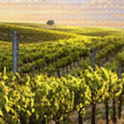 Sunset On A Vineyard Art Print