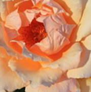 Sunset Rose Art Print