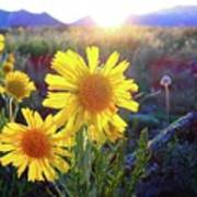 Sunsets And Sunflowers In Buena Vista Art Print