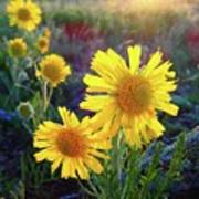 Sunsets And Sunflowers Of Buena Vista 2 Art Print