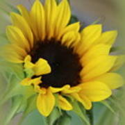 Sunshine Beauty - Sunflower Art Print