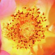 Sunshine - Hybrid Tea Rose - Macro Art Print