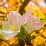 Sunshine On Apple Blossoms Art Print