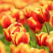 Sunsoaked Tulips #7 Art Print