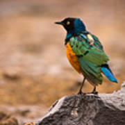 Superb Starling Print by Adam Romanowicz