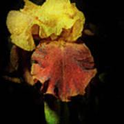Supreme Sultan Iris  Art Print